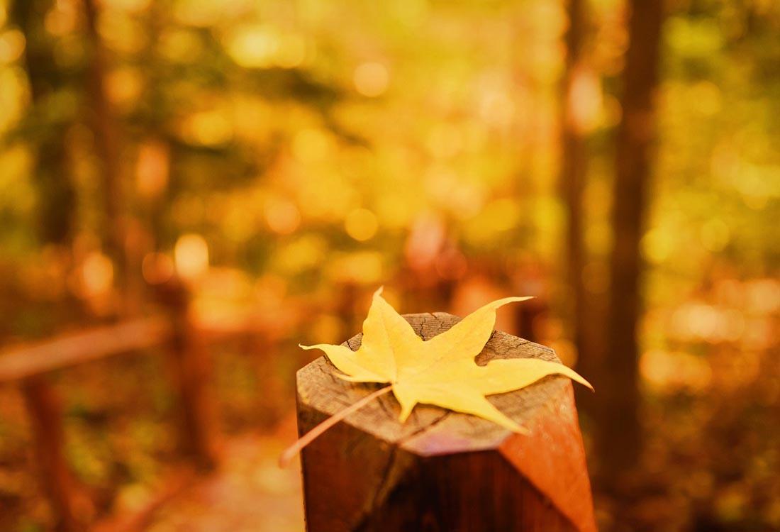 秋天黄色枫叶